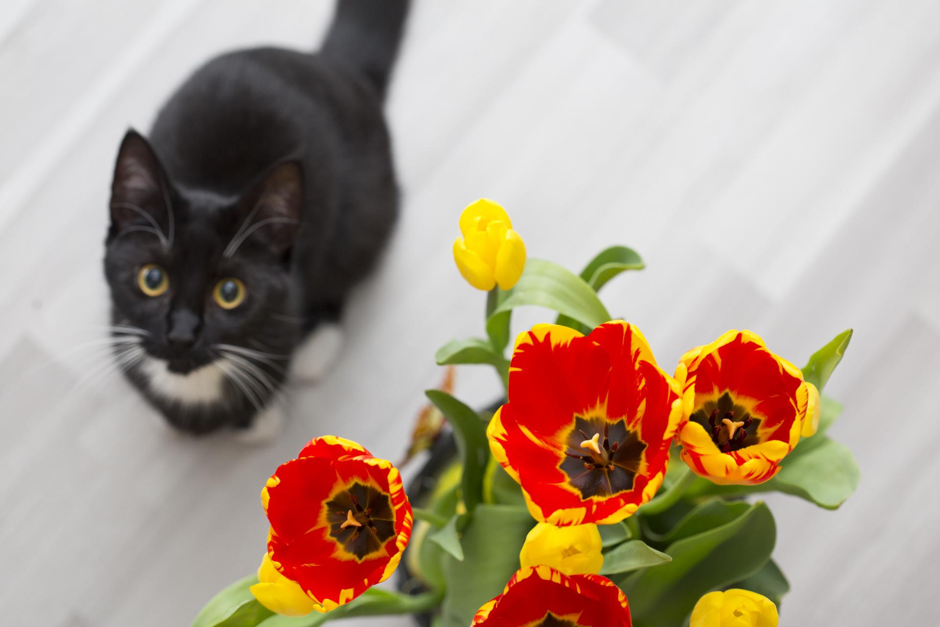 katze mit tulpen