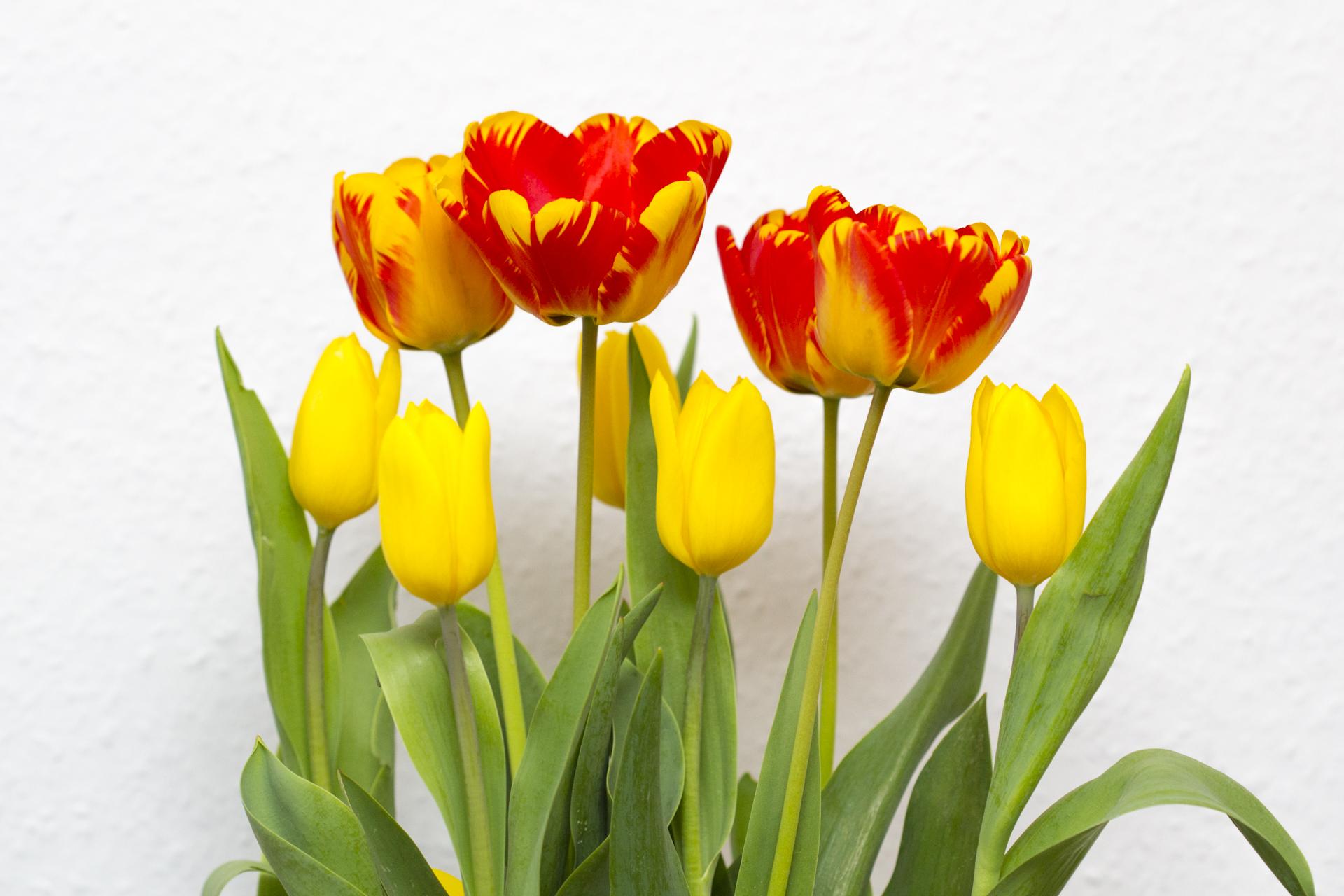 geschenkidee mit tulpen